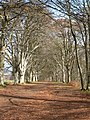 Avenue of beeches - geograph.org.uk - 1240206.jpg