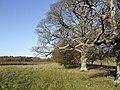 Avenue of oaks - geograph.org.uk - 618412.jpg