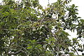 Avocado Tree (2473587957).jpg