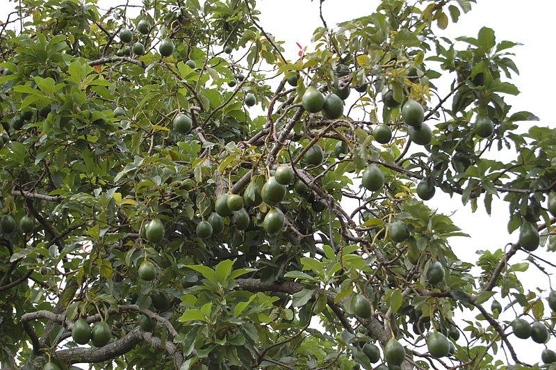 File:Avocado Tree (2473587957).jpg