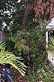 Avocado Tree Limb (2833024372).jpg