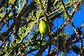 Avocado tree (6849899176).jpg