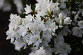 Azalea-white-flowers-bloom-springtime - West Virginia - ForestWander.jpg