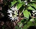 Bärlauch (Allium ursinum) - Blüte mit Insekt, an der Latrop im Naturschutzgebiet Waldreservat Schanze nördliche Teilfäche.jpg