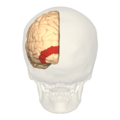 BA18 - Secondary visual cortex (V2) - posterior view.png
