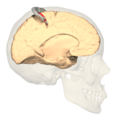 BA312 - Primary Somatosensory Cortex - medial view - with homunculus.png