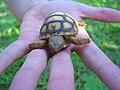 Baby Gopher Tortoise.jpg