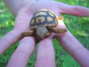 Gopher tortoise - Carapaces of hatchlings are yellow, but they take on a darker color as they mature