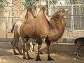Bactrian camel - ബാക്ട്രിയൻ ഒട്ടകം 01.JPG