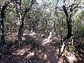 """Bajando desde """"El menejador"""" por la senda. Bosque de carrascas.JPG"""