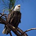 Bald Eagle-27527-13.jpg
