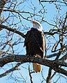 Bald Eagle at Mingo National Wildlife Refuge in Missouri (31968137663).jpg