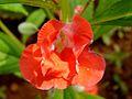 Balsam flower 8.JPG