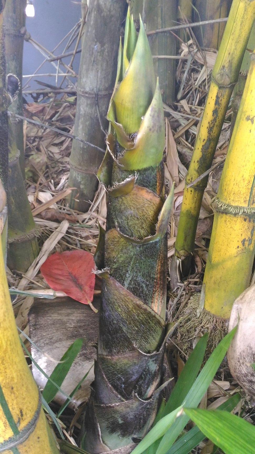 Bamboo seedling 02