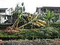 Banana Trees Blown Over By Typhoon Nesat (6209809239).jpg