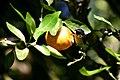 Bananaquit feeding on orange.jpg