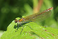 Banded demoiselle damselfly (Calopteryx splendens) female metallic bronze.jpg