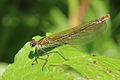 Banded demoiselle damselfly (Calopteryx splendens) female metallic bronze.jpg