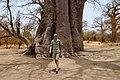 Baobab (Adansonia digitata).jpg