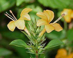 Barleria prionitis, Blütenstand mit für Acanthaceae typischen zygomorphen Blüten mit verwachsenen Blütenkronblättern.
