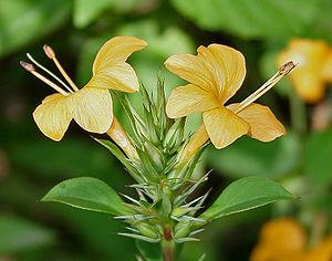 Barleria prionitis - Barleria prionitis in Hyderabad, India.
