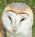 Barn Owl - Bird of Prey exhibit at Waddington Air Show - geograph.org.uk - 1570235.jpg