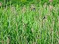 Barn swallows in Reed bed of Miyatakioike - 1.jpg