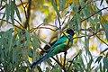 Barnardius zonarius -Alice Springs -Todd River-2.jpg