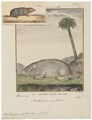 Bathyergus suillus - 1700-1880 - Print - Iconographia Zoologica - Special Collections University of Amsterdam - UBA01 IZ20500161.tif