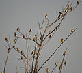 Baya Weaver (Ploceus philippinus) W IMG 4886.jpg