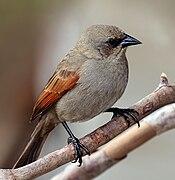 Baywing (Agelaioides badius).jpg