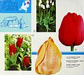 Beautify America with Holland flowerbulbs (1968) (20364994731).jpg