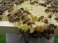 Bee larve.jpg