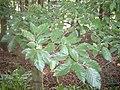 Beech leaves - geograph.org.uk - 1377408.jpg