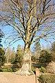 Beech tree Woldingham Road - geograph.org.uk - 1142096.jpg