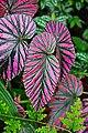 BegoniaBrevirimosa.jpg