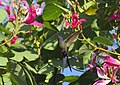 Beija-flor-tesoura - Eupetonema macroura - Trochilidae - se alimentando nas flores de pata-de-vaca-rosa - Bauhinia blakeana 03.jpg