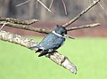 Belted Kingfisher (26483024326).jpg