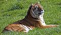 Bengal Tiger 2 (4506376374).jpg