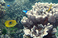 Bennett's butterflyfish Chaetodon bennetti (eclipse butterflyfish) (5822467886).jpg