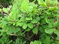 Berberis amurensis f. brevifolia.JPG