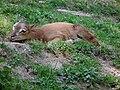 Bergtierpark Erlenbach junges Mufflon.JPG