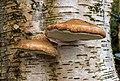 Berkenzwam (Piptoporus betulinus) (d.j.b.) 05.jpg