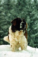 Dog Bernardyn For Sale In Wigan