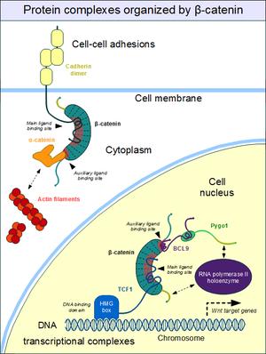 Beta-catenin - The moonlighting of beta-catenin.