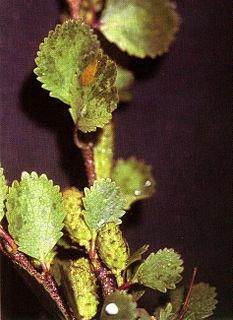 <i>Betula nana</i> Species of flowering plant