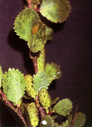 Betula nana - Image: Betula nana 0