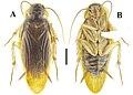 Beybienkonus acuticercus (10.3897-zookeys.867.35991) Figure 7.jpg