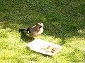 Bird (PL) - Sójka (33409236263).jpg