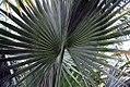 Bismarckia nobilis 7zz.jpg